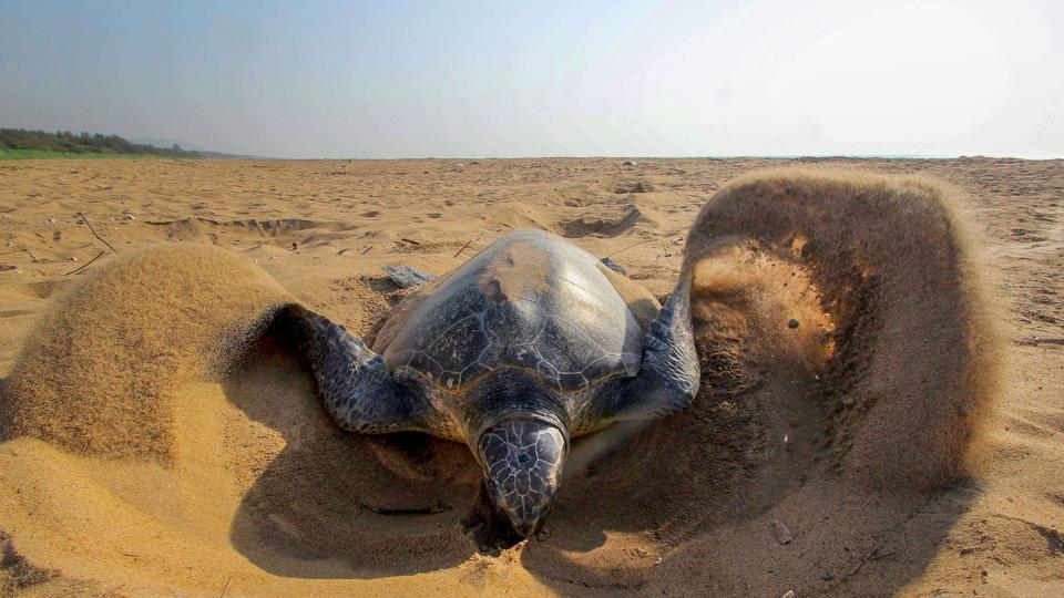 An olive ridley turtle makes a nest to lay eggs.