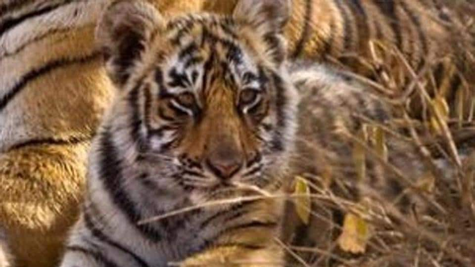 According to Forest Development Corporation of Maharashtra Ltd officials, injuries were found in the brains and necks of the cubs.