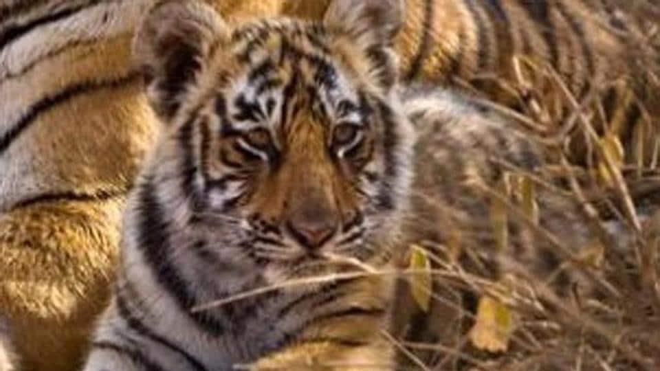 Tigress,Maharashtra,Nagpur