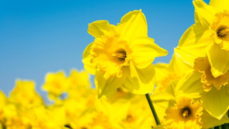 Daffodils,Cancer,Cure For Cancer