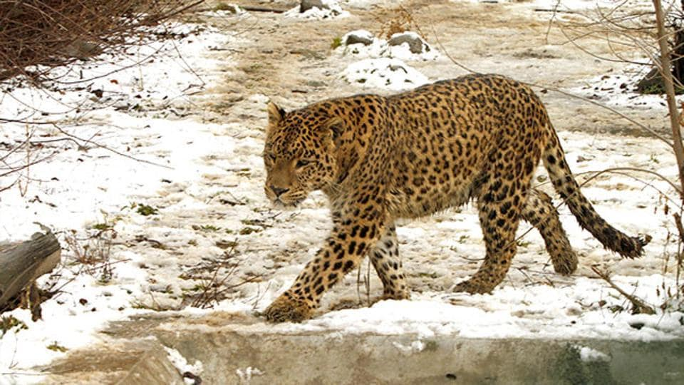 A leopard killed two young girls in Uttarakhand's Chamoli district. (Representative Photo)