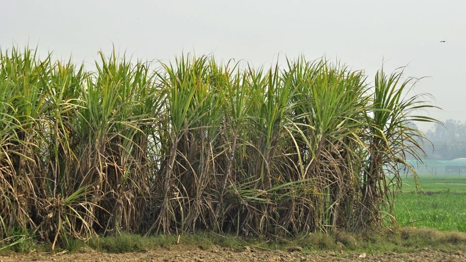 Sugarcane crop at a field in Ludhiana.