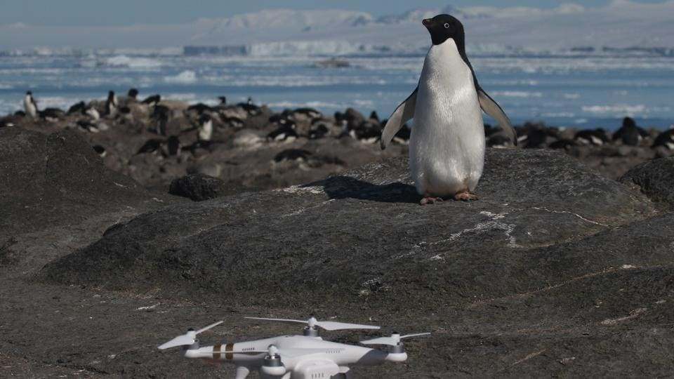 An Adélie penguin looking at a drone at breeding colony on Heroina Island, Danger Islands, Antarctica.