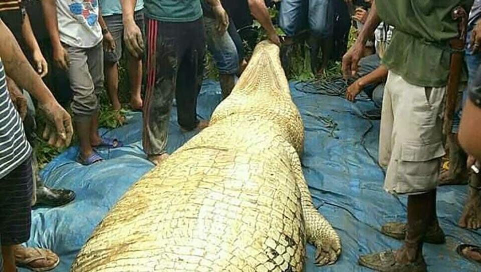 Indonesian authorities recover a crocodile after they shot and killed the six-metre (20 foot) long creature close to a riverbank in Marukangan on March 2.