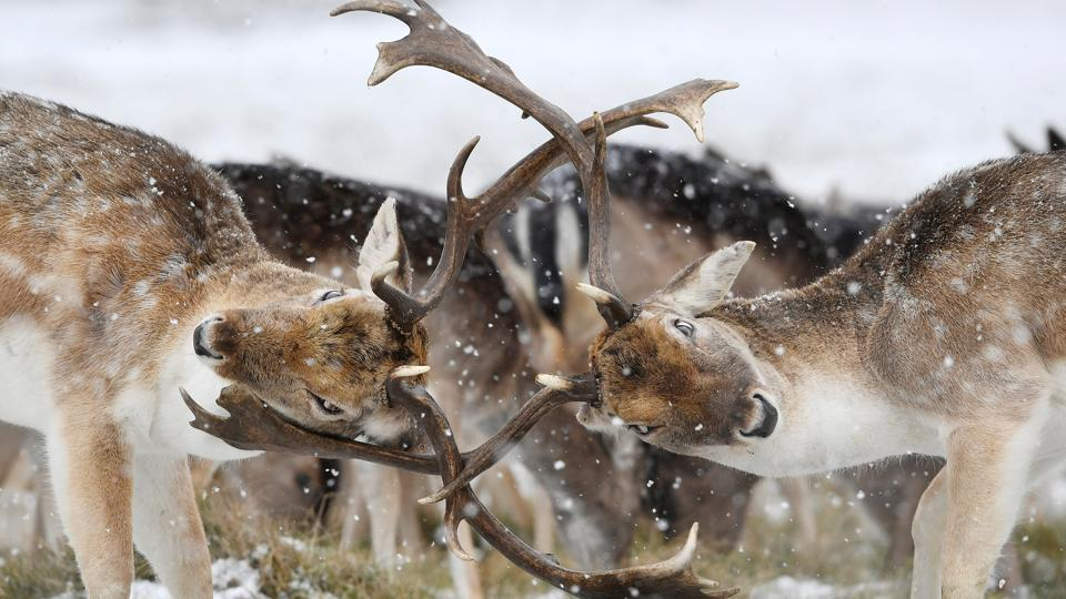 Deer clash antlers as snow falls in Richmond Park in London, Britain. (Toby Melville / REUTERS)