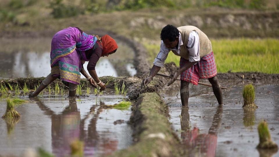 "Data shows that 71% of Scheduled Caste farmers are what the census refers to as ""agricultural labourers"" — they work for wages on others' land (Representative Photo)"