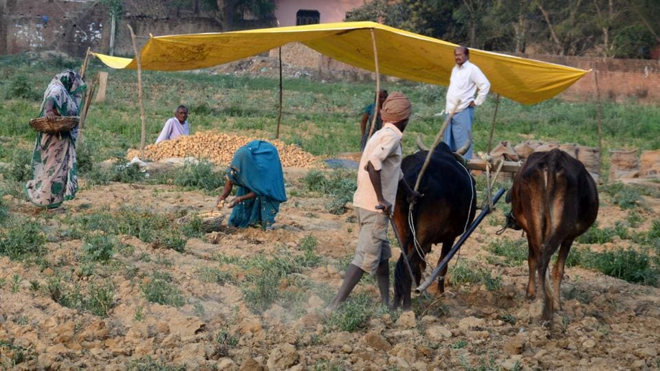Farmers harvesting potatoes from their field in Jhunsi at Allahabad.