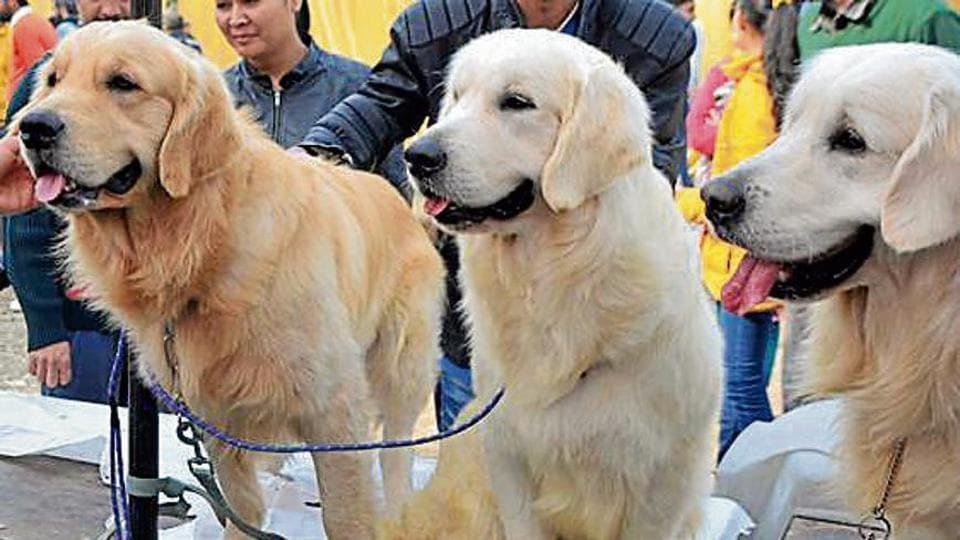 Chandigarh MC,MC lacks bite,leash on pet dogs