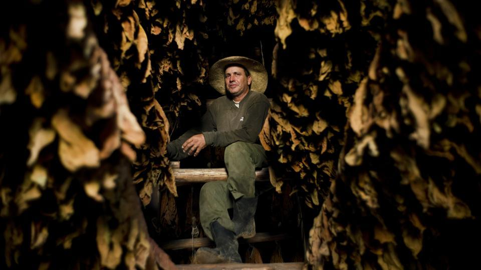 "The Martinez tobacco farm is run by Roberto Armas Valdes. He assumed the running of the family farm when his father-in-law passed away 5 years ago. ""It is a very hard and complicated job to manage a farm, but this year has been very good for tobacco,"" he said. Increased yields and better quality made 2017 one of the best ever for Cuban farmers and cigar producers. (Ramon Espinosa / AP)"