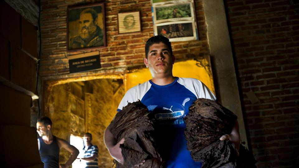 Luis Miguel Vergara poses in front of an image of late Cuban leader Fidel Castro with handfuls of fermented tobacco leaves in preparation for more drying. Depending on the leaf, tobacco is left to dry in a dark space from anywhere between 45 days to 90 days. (Ramon Espinosa / AP)