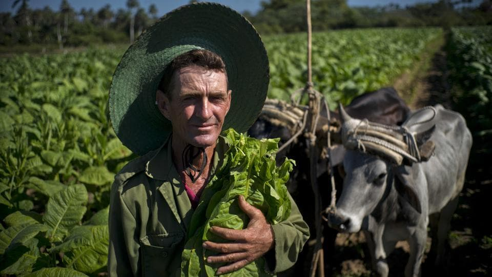 The journey of a Cuban cigar begins with tobacco pickers like Jorge Luis Leon Becerra seen here with his oxen and a handful of freshly harvested tobacco leaves, at the Martinez tobacco farm in Cuba's western province of Pinar del Rio where much of the island's tobacco is grown.  (Ramon Espinosa / AP)