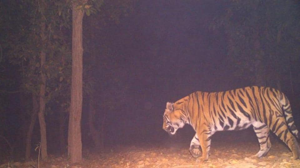 The tiger was first sighted on March 2 by one of the seven cameras the forest department installed near Lalgarh.