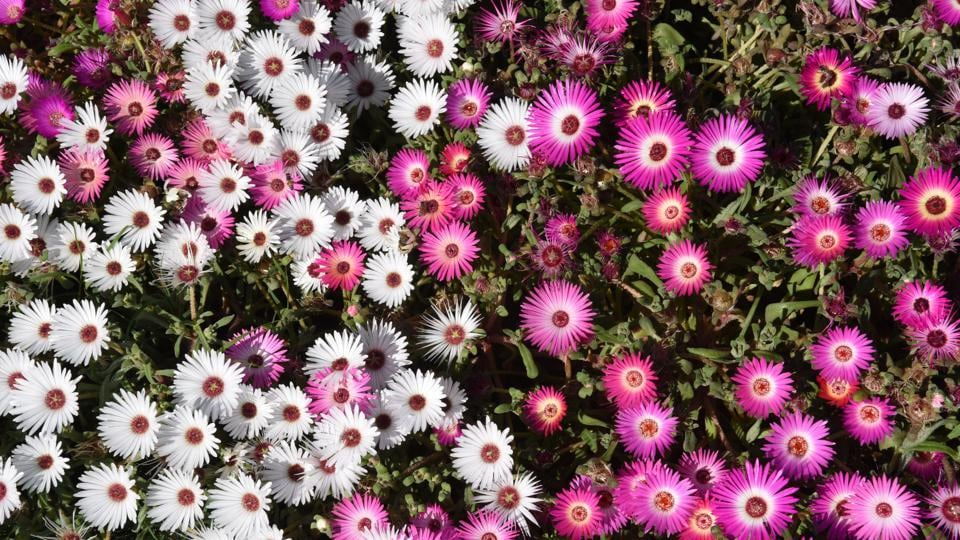 Livingstone Daisy:  Roundabouts and parks present another captivating face of spring in the city.  (Sanjeev Sharma/HT)