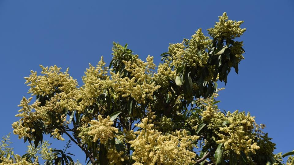 A mango tree full of buds on the dividing road sector 8-9 in Chandigarh.  (Sanjeev Sharma/HT)