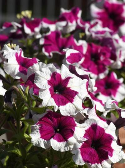 Petunia (Sanguna): The flowers give a testimony of the boundless beauty of the city with its myriad colours adorning the landscape.  (Sanjeev Sharma/HT)