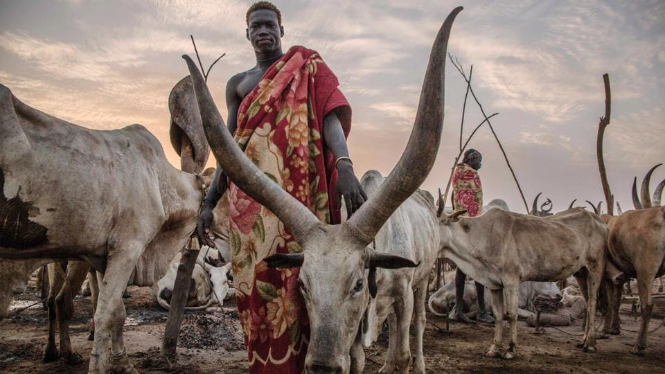 A Sudanese Dinka man poses between cows in the early morning at their cattle camp in Mingkaman, Lakes State, South Sudan. During four months of South Sudan's dry season between December and May, the Dinka pastoralists from the highlands move down close to the Nile, where they set up big cattle camps in a unique display of harmony with their cattle. (Stefanie Glinski / AFP)