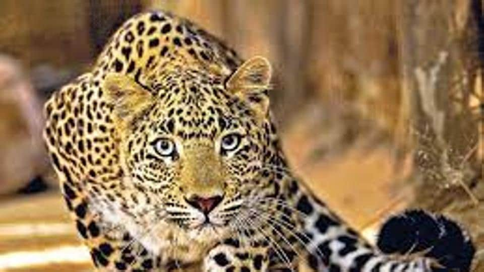 Leopard deaths have been on the rise in Maharashtra