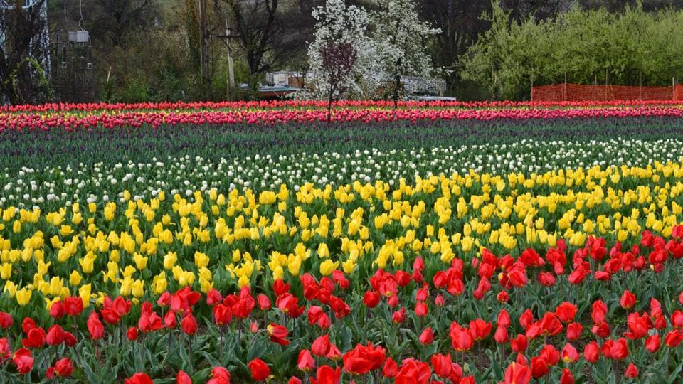 12.25 lakh tulip bulbs have been planted over an area of 10 hectares.