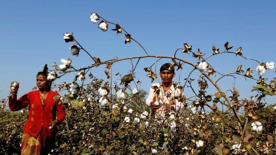 Monstanto,GM cotton seed royalty,Ministry of agriculture