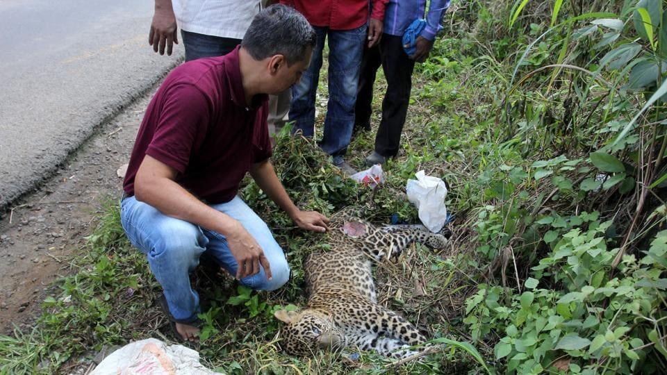 SGNP,Mumbai,Leopards