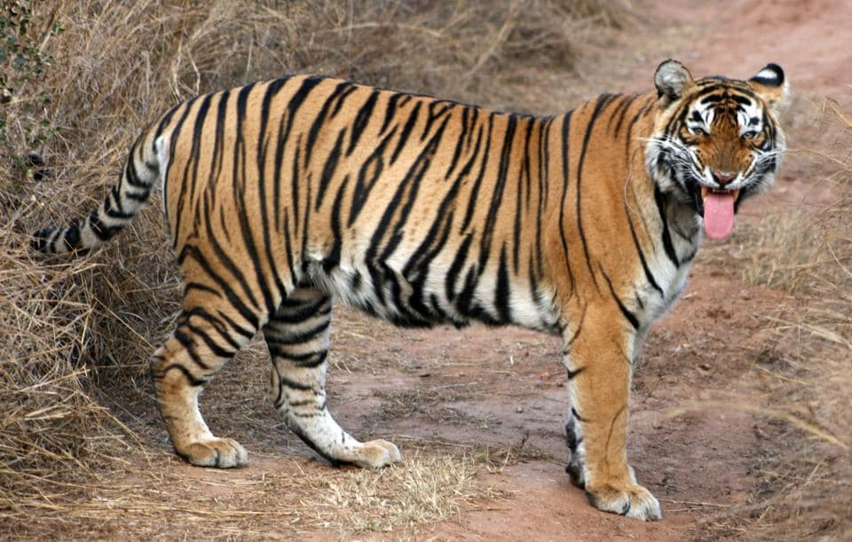 Tigress ST-5  that went missing since February 24 from the Sariska Tiger Reserve in Rajasthan.