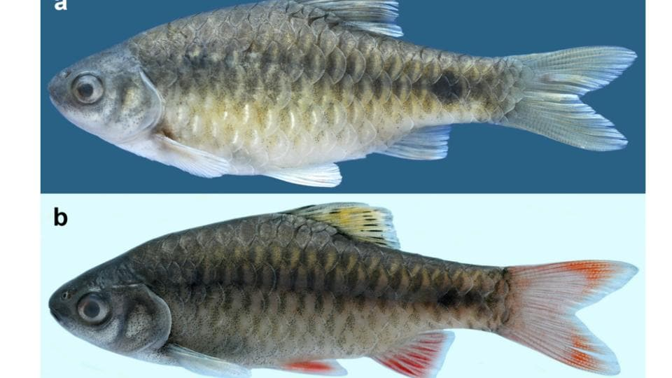 New fish species,Pethia poiensis,Zootaxa