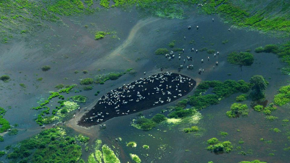 An aerial view of grazing cattle at the Pantanal wetlands in Mato Grosso state, Brazil. The Pantanal is the largest wetland on the planet located in Brazil, Bolivia and Paraguay spanning across 65,600 square miles of area and is home to more than 4,000 species of plants and animals. But with industrialized agriculture encroaching deeper and deeper into former wilderness, that fragile water network nestled between Brazil, Paraguay and Bolivia is now under serious threat. (Carl De Souza / AFP)
