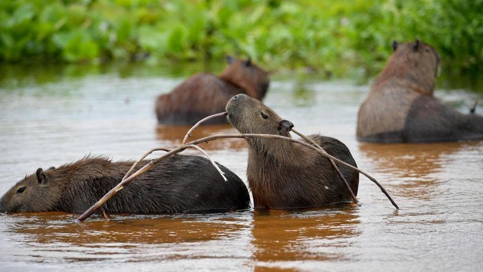 A family of Capybaras (Hydrochoerus hydrochaeris) is pictured at the wetlands.  (Carl De Souza / AFP)