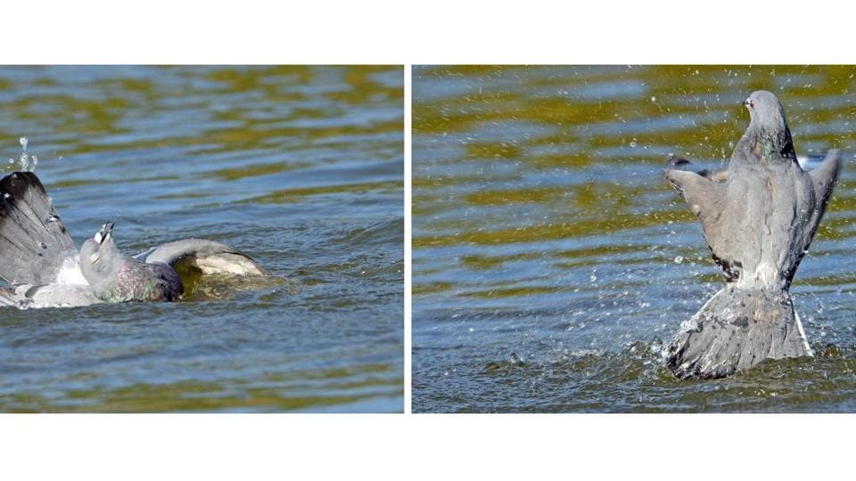 Eyes shut, pigeon on verge of being pulled under water by Mullee catfish; (right) escapes after a struggle.