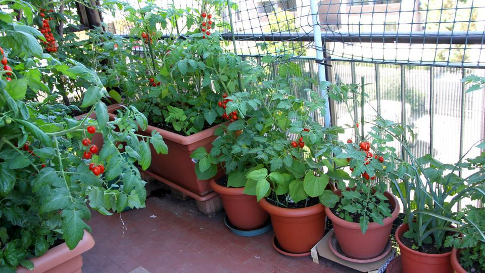Image result for Can I Grow Vegetables In Balcony Garden?