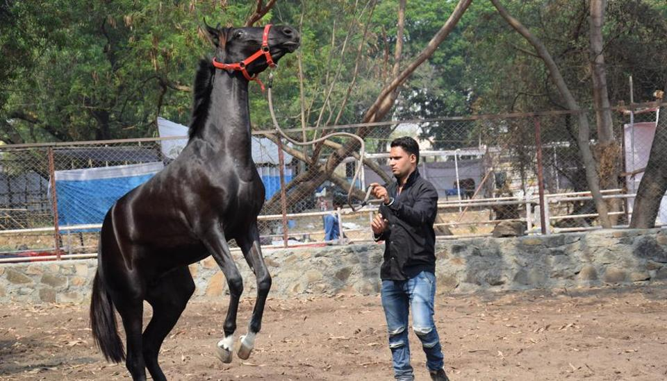 The Indigenous horse owners association organised the Marwari breed show at Talegaon in Pune.  (HT PHOTO )