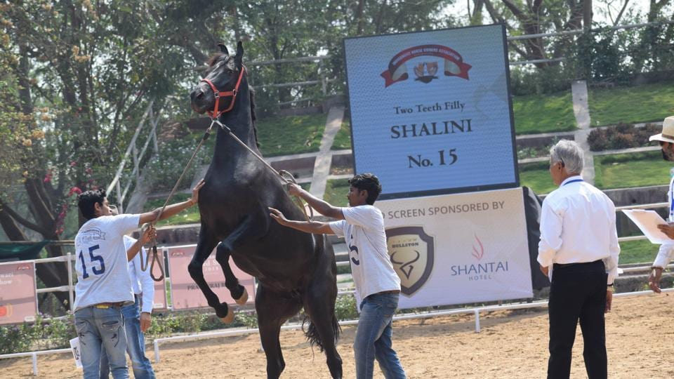 The Marwari breed show organised by the indigenous horse owners association at Talegaon in Pune,saw many visitors.  (HT PHOTO )
