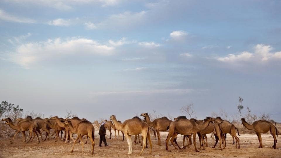 Ali El Guran checks his camels as they return back to camp after grazing all day in the open fields of the Israeli Kibbutz Kalya, near the Dead Sea. Each winter, camels lope around the moon-like desert landscape of the lowest place on Earth under the watchful eyes of their Bedouin Arab herders, in an ancient tradition passed from father to son over the generations. (Oded Balilty / AP)