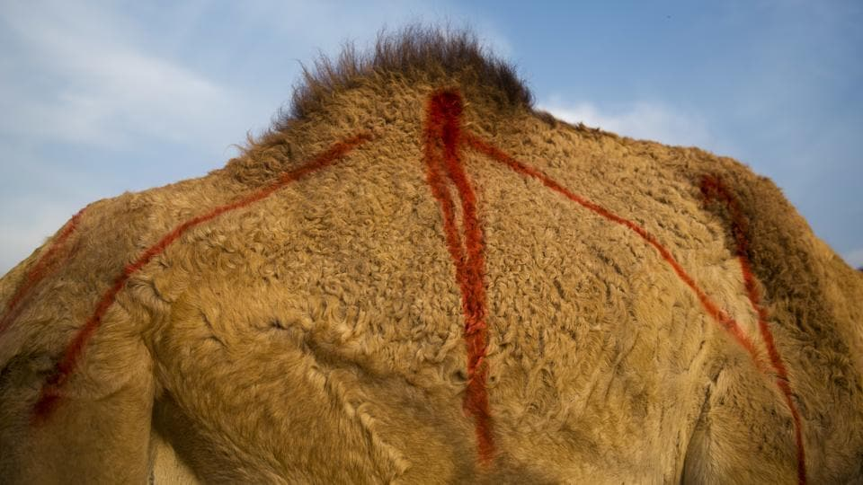 The pregnant camels are marked with red spray paint. When it's time to give birth, the mother camels separate themselves from the herd, sometimes walking several miles to find a private spot. Herders later find them standing guard over the newborns, protecting them from wolves and jackals -- the main predators in the area. (Oded Balilty / AP)