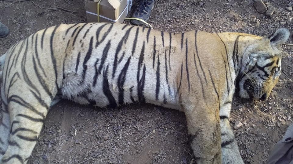 The tiger which died at the Ranthambore Tiger Reserve.