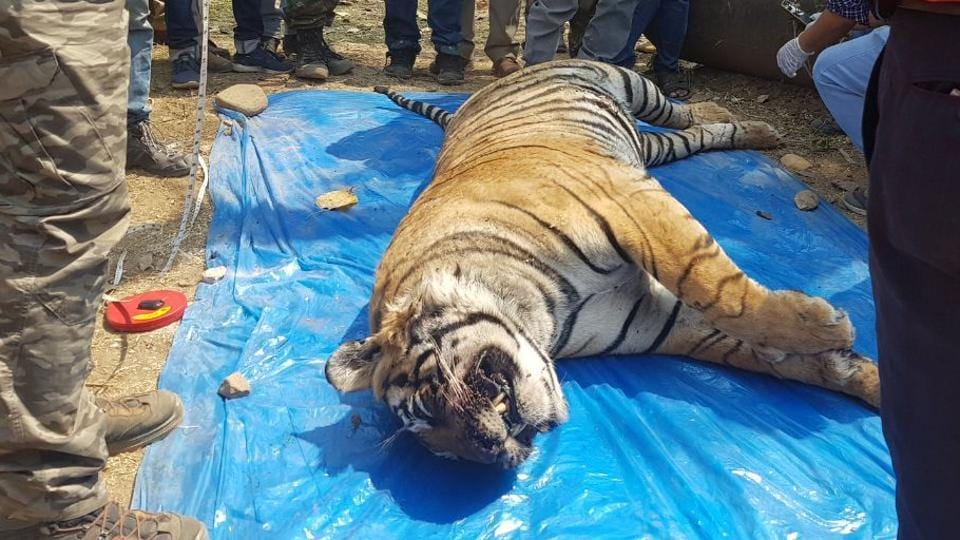 Sariska tiger ST-11 was found dead in a field in Kalamedha village of Indok forest area.