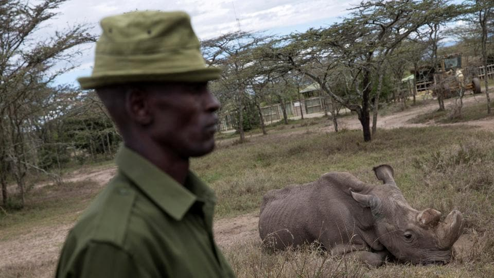 A warden guards Sudan at the Ol Pejeta Conservancy. Sudan was being treated for age-related complications that had affected his muscles and bones and also gave him extensive skin wounds. The rhino had spent two weeks in late February and early March lying in his pen due to discomfort from a deep wound on his right hind leg. (Baz Ratner / REUTERS File)