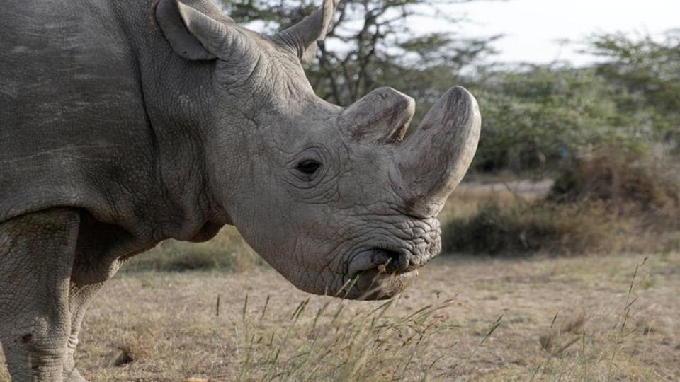 The last surviving male northern white rhino named 'Sudan' is seen at the Ol Pejeta Conservancy in Laikipia, Kenya . Ol Pejeta Conservancy, the agency taking care of Sudan, said in a statement it had made the decision with wildlife officials and his previous carers to euthanise the 45-year-old rhino due to the rapid deterioration in his condition. (Thomas Mukoya / REUTERS)
