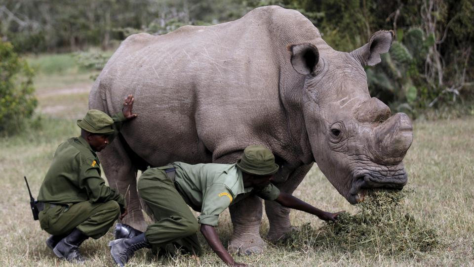 Wardens assist Sudan as he grazes at the Ol Pejeta Conservancy. The only hope for the preservation of this subspecies now lies in developing in vitro fertilisation techniques using eggs from the two remaining females, stored northern white rhino semen from males and surrogate southern white rhino females. (Thomas Mukoya / REUTERS File)