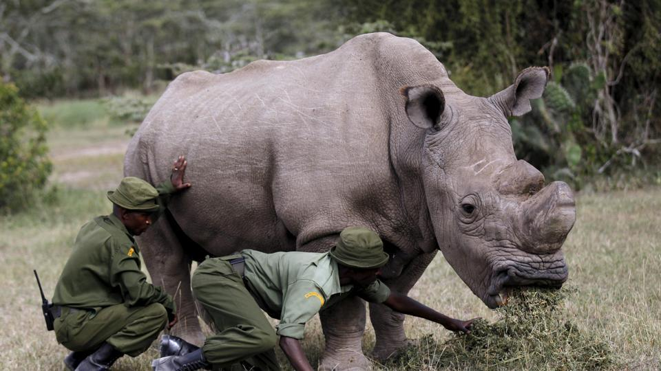 Image result for Sudan, the world's last male northern white rhino