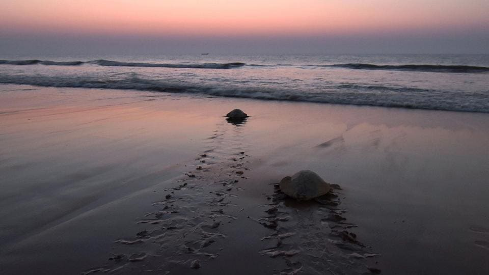 The locals are motivated by the belief that safe passage for turtles to sea is crucial for the survival of the species. These turtles spend their entire lives in the ocean, and migrate vast expanses between feeding and mating grounds in the course of a year. Ultimately, conservation efforts have succeeded in Odisha in large part due to this special relationship between turtles and locals. (Asit Kumar / AFP)