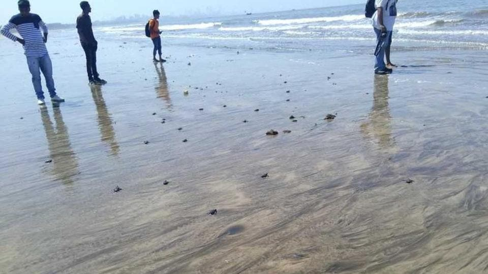 At least 80 healthy baby turtles were spotted on Versova beach on Thursday morning.