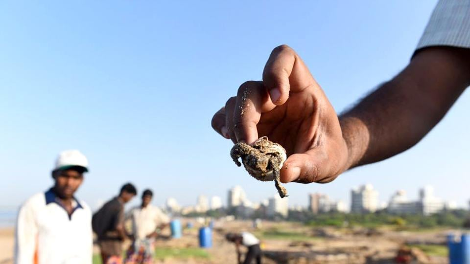 Forest officers and locals found several hatched Olive Ridley turtle egg shells at Versova beach on Friday morning, after which the Maharashtra forest department confirmed that the beach had, indeed, become a turtle nesting site after two decades. (Satish Bate / HT Photo)