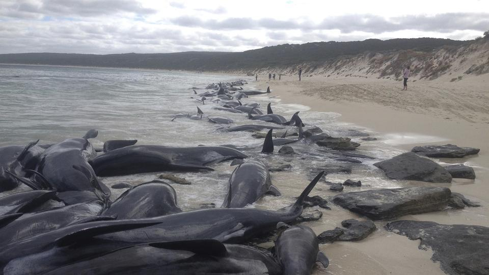 Short-finned pilot whales who became beached at Hamelin Bay, in Western Australia's south, on Friday.
