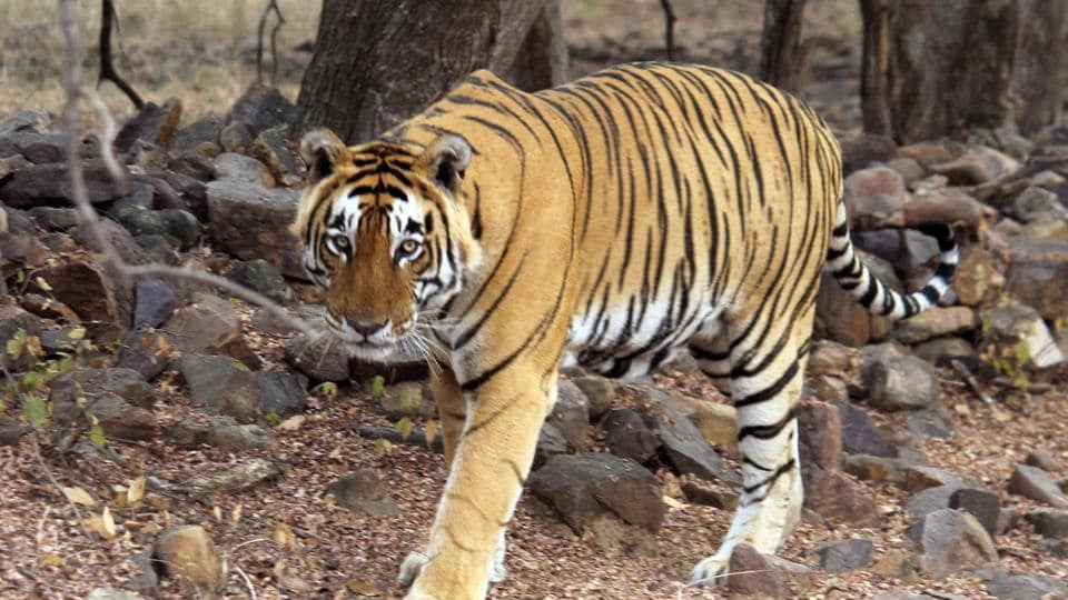 The relocation is planned as the eastern and western side of the reserve is divided by narrow corridor because of which tigers can't move to either side.