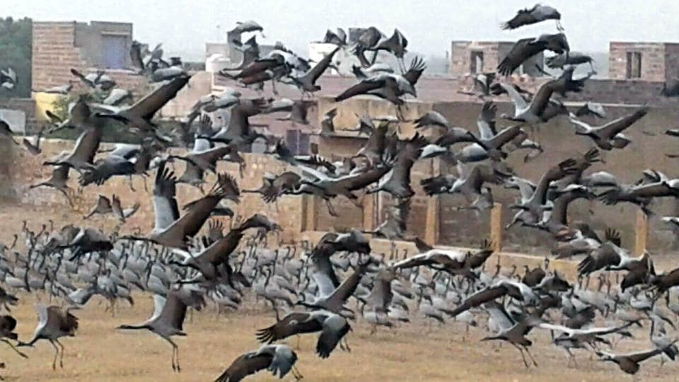 Migratory birds at Khinchan village of Jodhpur.