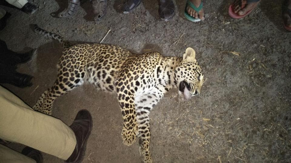The two-year-old leopard killed along the Pune-Nashik highway on Sunday.