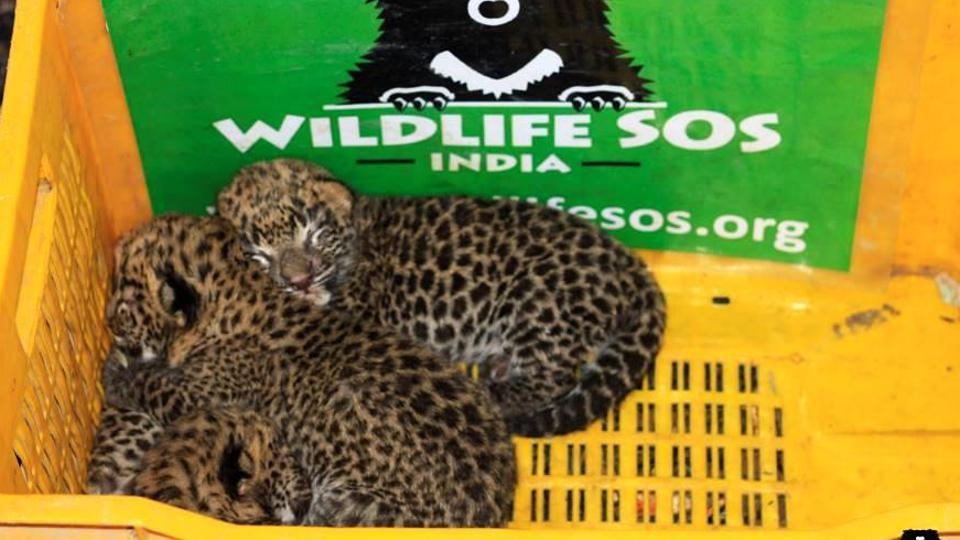 The most recent successful reunion was of four 20-day leopard cubs in Shirur in Pune district on Saturday