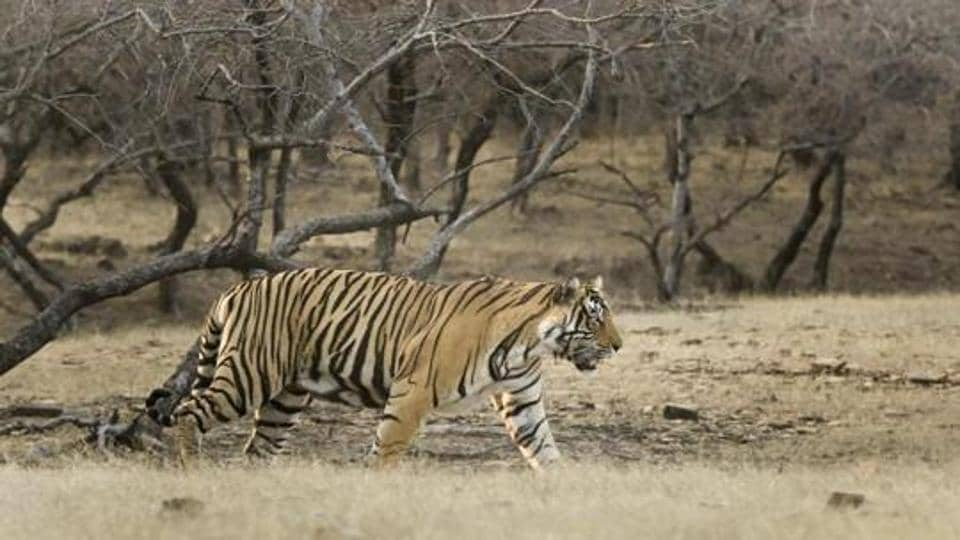 The MTHR will soon witness arrival of 110 cheetals from Delhi, which may add up to the prey base in the park.