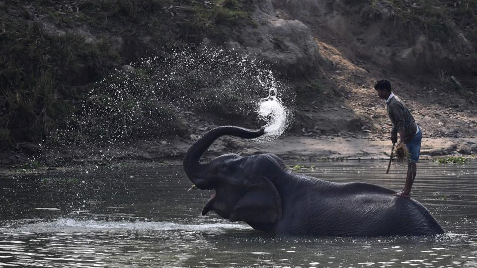 A mahout stands on his elephant as it washes itself after a census of one horn rhinos at the Pobitora Wildlife Sanctuary. Annual floods triggered by torrential rain are important to the rejuvenation of the swamps and ponds that sustain the animals but have occasionally proved devastating to their populations. Kaziranga lost 361 animals, including 31 rhinos, in the 2017 floods that swamped the Unesco world heritage site. (Biju Boro / AFP)
